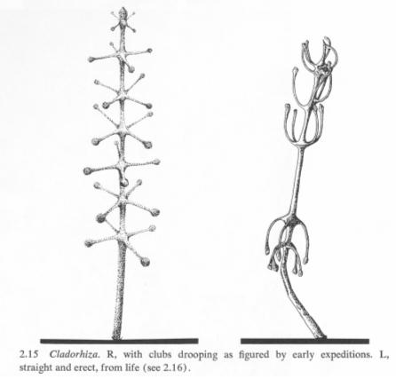 Risultati immagini per Cladorhiza concrescens