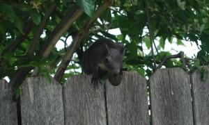 scoiattolo volpe