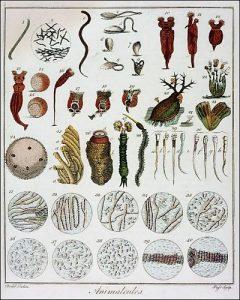 Microrganismi osservati e riprodotti da Anton van Leeuwenhoek (credit: Pubblico Dominio)