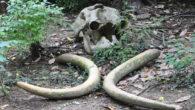 Cimiteri degli elefanti, mito o realtà?